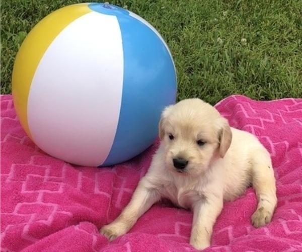 Medium Photo #6 Golden Retriever Puppy For Sale in AUSTIN, KY, USA
