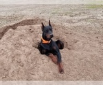 Small #6 Doberman Pinscher