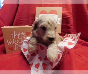 Goldendoodle Puppy for sale in VOLANT, PA, USA