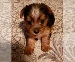 Small Yoranian-Yorkshire Terrier Mix