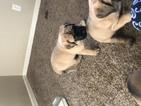 Mastiff Puppy For Sale in ALVIN, IL