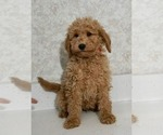 Small #2 Labradoodle-Poodle (Miniature) Mix