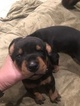 Doberman Pinscher Puppy For Sale in PETALUMA, CA, USA