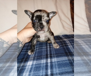 French Bulldog Puppy for sale in LAMAR, MS, USA