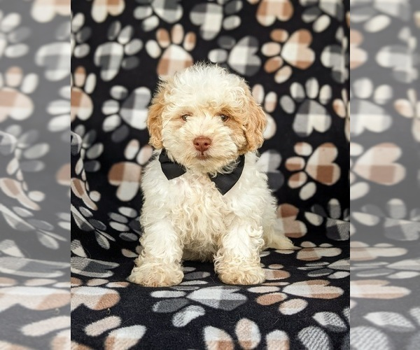 Medium Photo #1 Shih-Poo Puppy For Sale in LINCOLN UNIV, PA, USA
