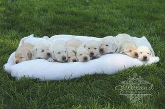 Labrador Retriever Puppy For Sale in MORGAN HILL, CA, USA