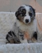 Australian Shepherd Puppy For Sale in ATWOOD, IL, USA