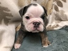 Lilac and Tri Blue Olde English Bulldog Puppies