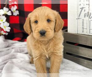 English Cream Golden Retriever-Poodle (Standard) Mix Puppy for Sale in KARLSTAD, Minnesota USA