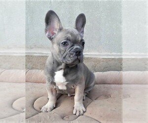 French Bulldog Puppy for sale in DES PLAINES, IL, USA