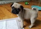 Pug Dog For Adoption in MILWAUKEE, WI, USA