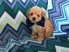 Poodle (Toy) Puppy For Sale in EPHRATA, PA,