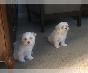 Maltese Puppy for Sale in LAWRENCEVILLE, Georgia USA