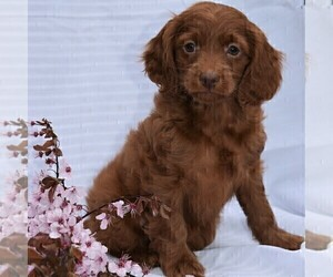Cock-A-Poo-Poodle (Miniature) Mix Puppy for sale in MILLERSBURG, PA, USA
