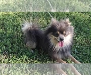 Father of the Pomeranian puppies born on 09/29/2020