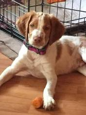 Brittany Puppy for sale in PENN YAN, NY, USA