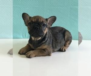 French Bulldog Puppy for sale in MIAMI, FL, USA