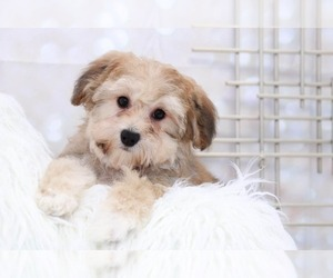 Yo-Chon-Yorkshire Terrier Mix Puppy for Sale in MARIETTA, Georgia USA