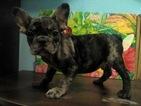 French Bulldog Puppy For Sale in Vinnytsia, Vinnyts'ka, Ukraine