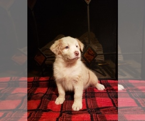 Australian Shepherd Puppy for Sale in GAINESVILLE, Missouri USA