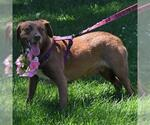 Small #132 Australian Shepherd-Chocolate Labrador retriever Mix