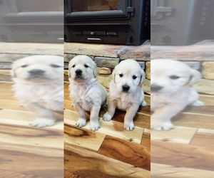 Golden Retriever Puppy for sale in FYFFE, AL, USA