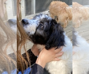 Border Collie-Goldendoodle Mix Puppy for Sale in BLUE RIDGE, Georgia USA