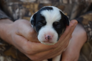 Jack Russell Terrier Puppy For Sale in REDDING, CA, USA
