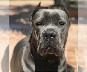 Mother of the Cane Corso puppies born on 11/04/2020