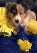 Puppy 2 Shetland Sheepdog