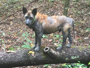 Mizzy (Misery) - Shepherd / Black Labrador Retriever / Mixed Dog For Adoption