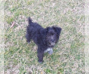 YorkiePoo Puppy for sale in CASSVILLE, MO, USA