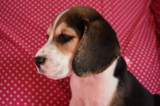 Beagle Puppy For Sale in REASNOR, IA, USA