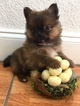 Pomeranian Puppy For Sale in PEMBROKE PINES, FL
