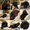 Labradoodle Puppy For Sale in FULSHEAR, TX,