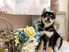 Shiba Inu Puppy For Sale in SAN JOSE, California,