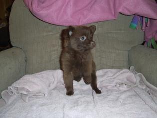 Pomeranian Puppy For Sale in MARSHFIELD, MO