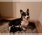 Small Photo #1 Pembroke Welsh Corgi Puppy For Sale in OAKLAND, CA, USA