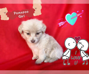 Pom-A-Poo-Pooranian Mix Dog for Adoption in SAN FRANCISCO, California USA