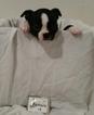 Puppy 5 Boston Terrier
