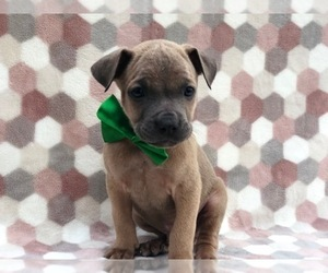 Cane Corso Puppy for sale in CLAY, PA, USA