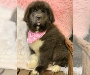 Newfoundland Puppy for sale in DALE, IN, USA