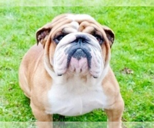 Father of the English Bulldog puppies born on 08/13/2020
