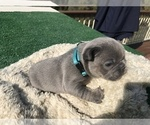 Small #36 French Bulldog