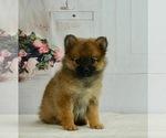 Puppy 14 Pomeranian