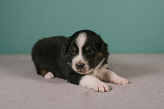 Australian Shepherd Puppy for sale in LA RUE, OH, USA