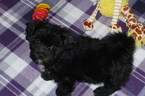 ShihPoo Mix Puppy For Sale in TUCSON, AZ