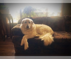Great Pyrenees Puppy for Sale in YELM, Washington USA