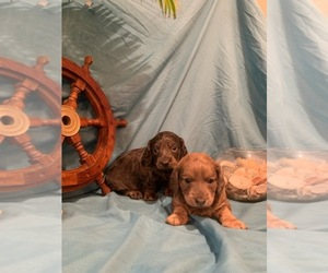 Dachshund Puppy for sale in CINCINNATI, OH, USA