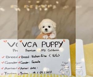 Bichon Frise Puppy for sale in CHINO HILLS, CA, USA